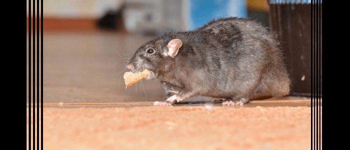 Rodent Control Cremorne